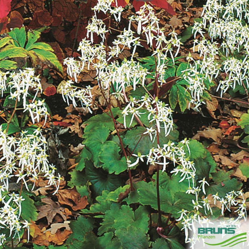 Saxifraga cortusifolia var fortuneinvestmentproperties clearingnummer forex bank