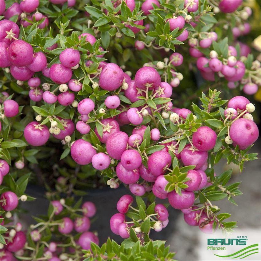 Pernettya Mucronata Rosea.Pernettya Mucronata Rosea Von Bruns Pflanzen