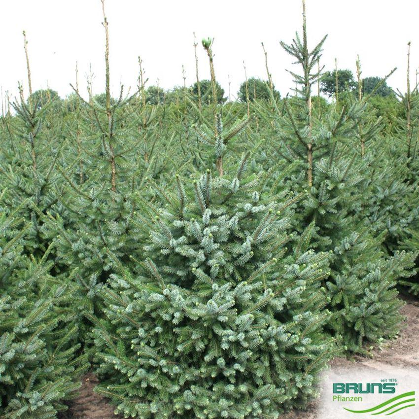 H/ängende Omorika Fichte Bruns 40-50cm Picea omorika